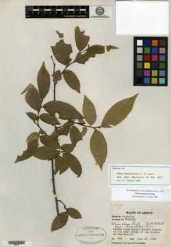 Image of Ulmus multinervosa