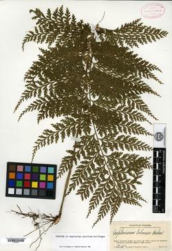 Asplenium excelsum image