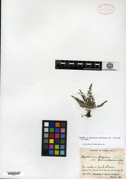 Asplenium cuspidatum image