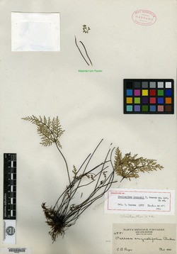 Image of Cheilanthes purpusii