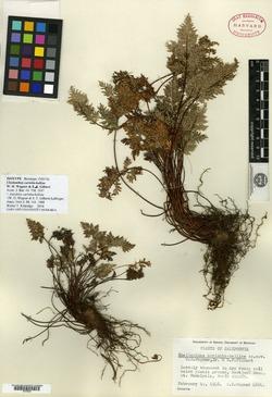 Cheilanthes carlotta-halliae image