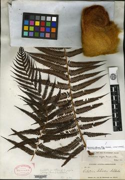 Cibotium regale image
