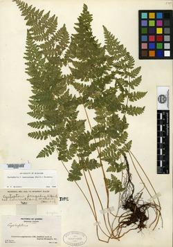 Cystopteris fragilis var. laurentiana image
