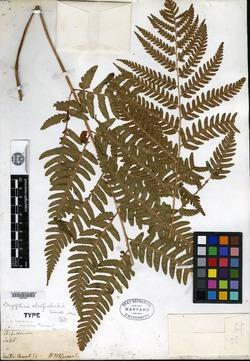 Image of Dryopteris atropalustris