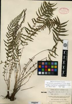 Image of Amauropelta resinifera