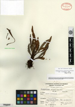 Elaphoglossum piloselloides image
