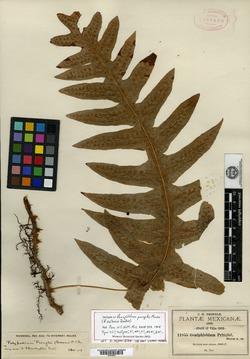 Image of Goniophlebium pringlei