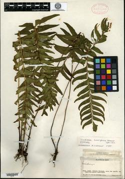 Lindsaea hemiglossa image