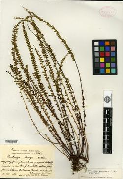 Image of Lindsaea protensa