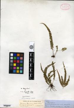 Lindsaea spruceana image