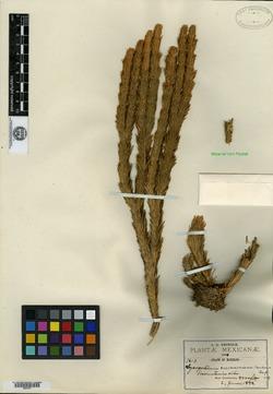 Image of Huperzia cuernavacensis