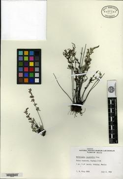 Image of Notholaena jacalensis