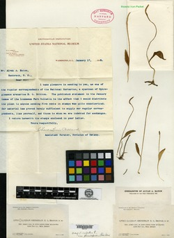 Image of Ophioglossum arenarium
