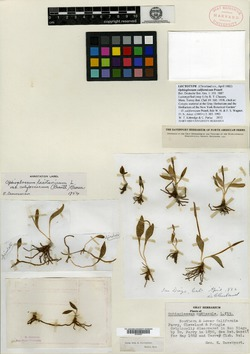 Ophioglossum californicum image
