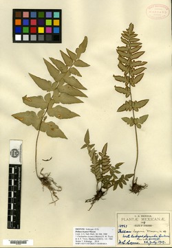 Image of Cheilanthes lozanoi
