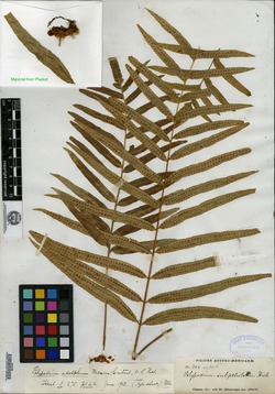 Image of Polypodium adelphum