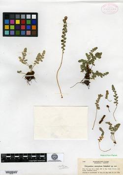 Polypodium amorphum image