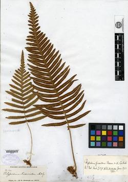 Image of Polypodium fissidens
