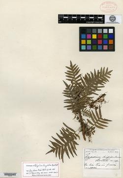 Image of Polypodium hispidulum