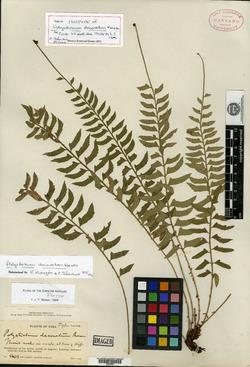 Image of Polystichum decoratum