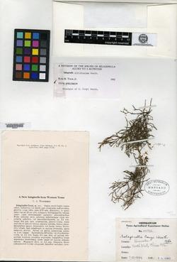 Image of Selaginella coryi