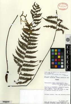 Thelypteris chiriquiana image