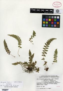 Image of Thelypteris burksiorum