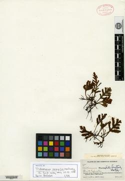 Image of Trichomanes crassipilis