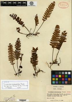 Image of Trichomanes aureovestitum