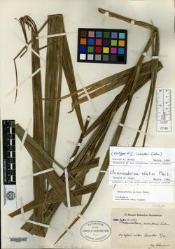Image of Chamaedorea elatior