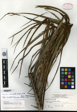 Image of Acrocomia aculeata
