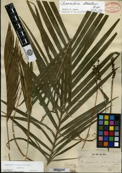 Image of Chamaedorea cataractarum