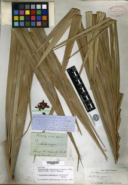 Image of Acrocomia crispa