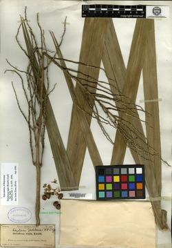 Image of Roystonea floridana