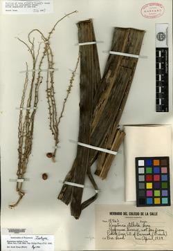 Image of Roystonea stellata