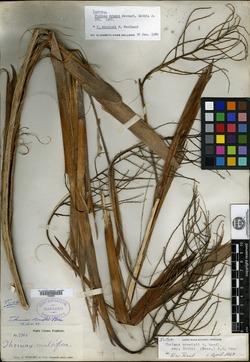 Leucothrinax morrisii image