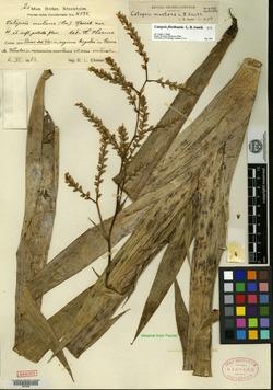 Image of Catopsis montana
