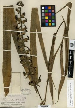 Billbergia macrolepis image