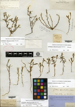 Githopsis calycina var. hirsuta image