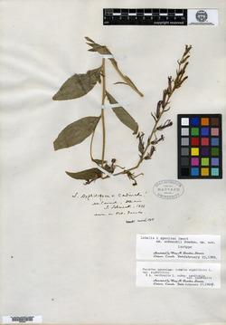 Lobelia × speciosa image