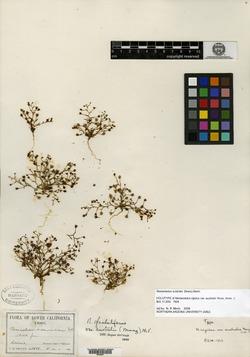 Image of Nemacladus australis