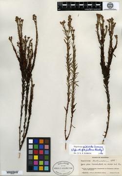 Image of Hypericum gnidioides