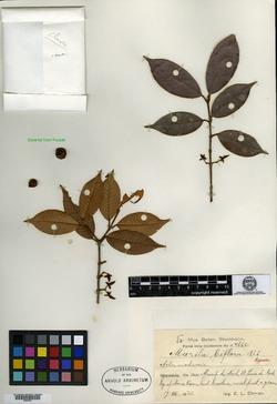 Marila biflora image