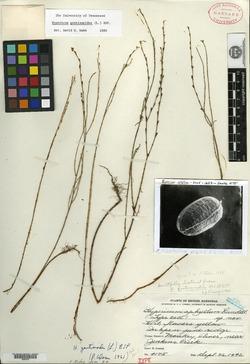 Hypericum aphyllum image