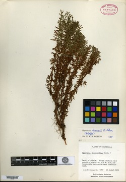 Image of Hypericum beamanii