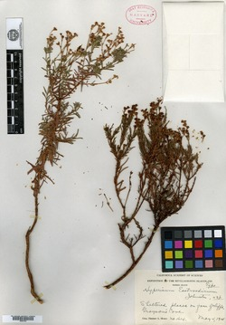 Image of Hypericum eastwoodianum