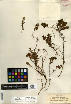 Image of Hypericum epigeium