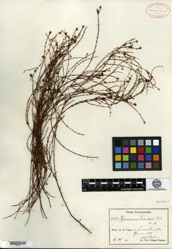 Image of Hypericum fuertesii