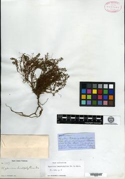 Image of Hypericum hecatophyllum