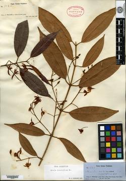 Marila dissitiflora image